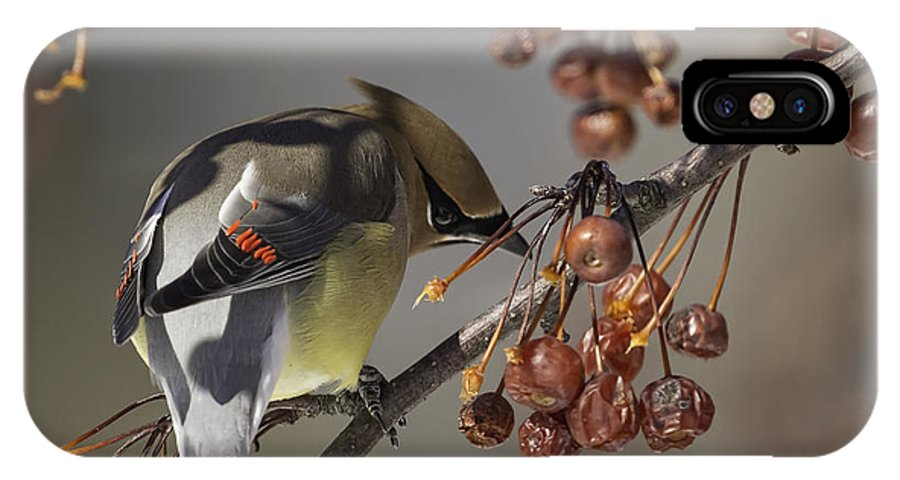 Cedar Waxwing IPhone X Case featuring the photograph Cedar Waxwing Eating Berries 7 by Thomas Young