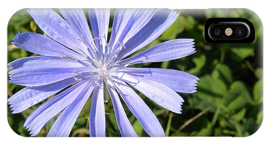 Chicory IPhone X Case featuring the photograph Chicory by Laura Yamada