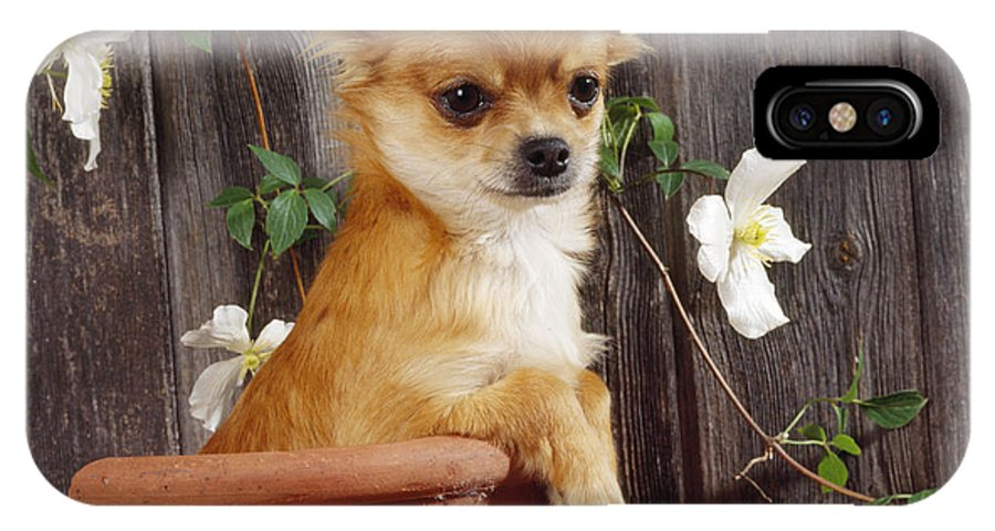 Chihuahua IPhone X / XS Case featuring the photograph Chihuahua Dog In Flowerpot by John Daniels