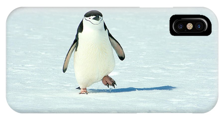 Chinstrap Penguin IPhone X Case featuring the photograph Chinstrap Penguin Running by Amanda Stadther