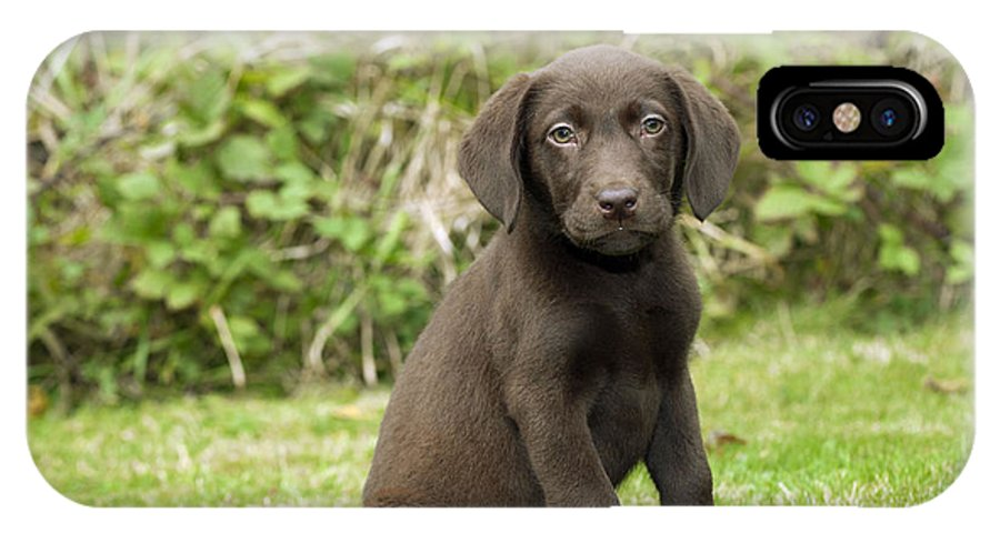 Labrador Retriever IPhone X / XS Case featuring the photograph Chocolate Labrador Puppy by John Daniels