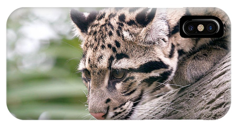 Clouded Leopard IPhone X Case featuring the photograph Clouded Leopard Cub by Athena Mckinzie