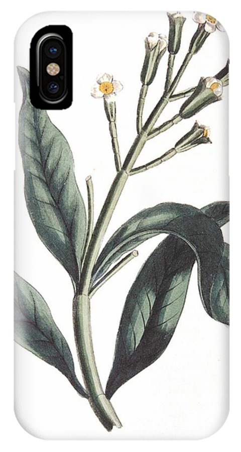 Clove IPhone X Case featuring the painting Clove Eugenia Aromatica by Anonymous
