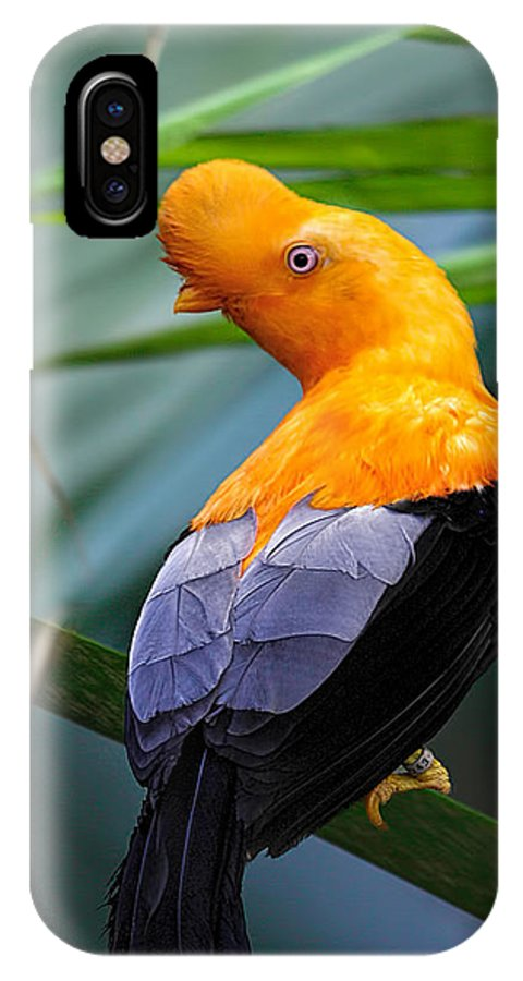 Cock-of-the-rock IPhone X Case featuring the photograph Cock-of-the-rock by John Fotheringham