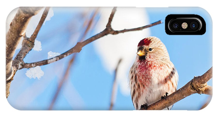 Landscapes IPhone X Case featuring the photograph Cold Redpoll by Cheryl Baxter