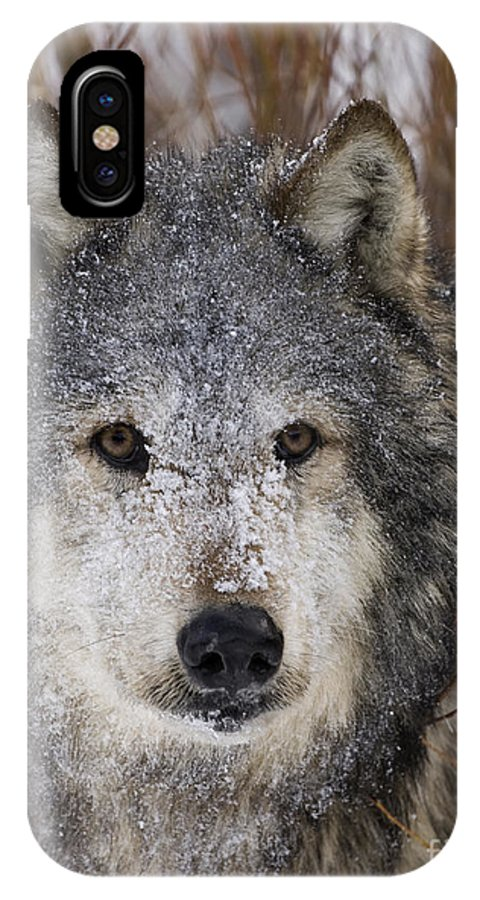 Wolf IPhone X / XS Case featuring the photograph Cold Stare by Wildlife Fine Art