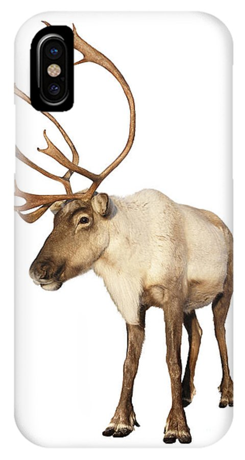 Caribou IPhone X Case featuring the photograph Complete Caribou Reindeer Isolated by Sylvie Bouchard