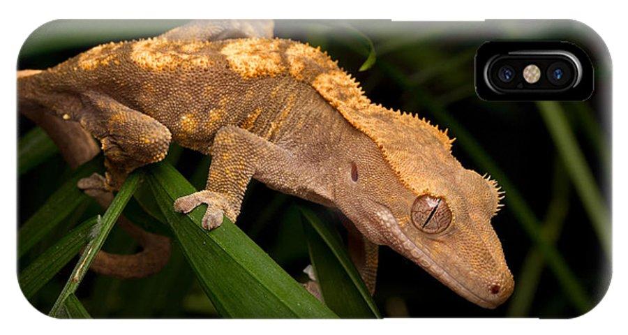 Crested Gecko Rhacodactylus Ciliatus IPhone X Case