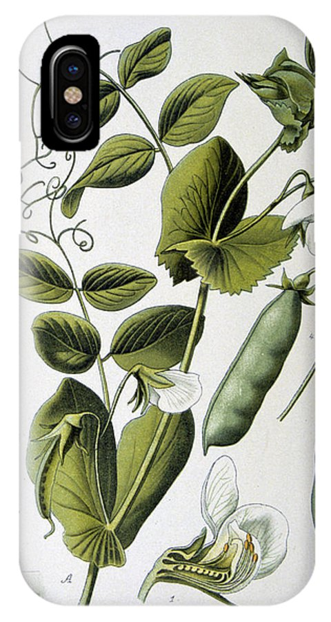 Culinary IPhone X Case featuring the painting Culinary Pea Pisum Sativum by Anonymous