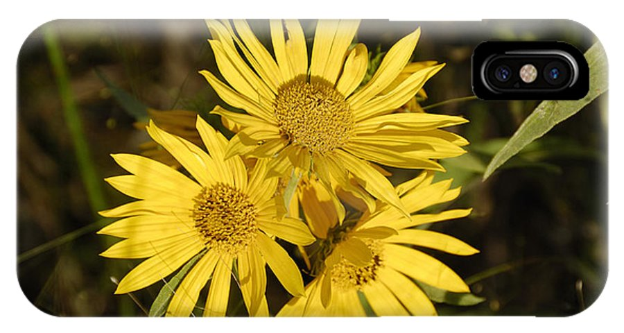 Engelmannia IPhone X Case featuring the photograph Cutleaf Daisy by Charles Beeler
