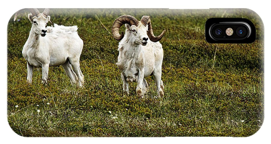 Dall Rams On Alert IPhone X Case featuring the photograph Dall Rams On Alert by Wes and Dotty Weber