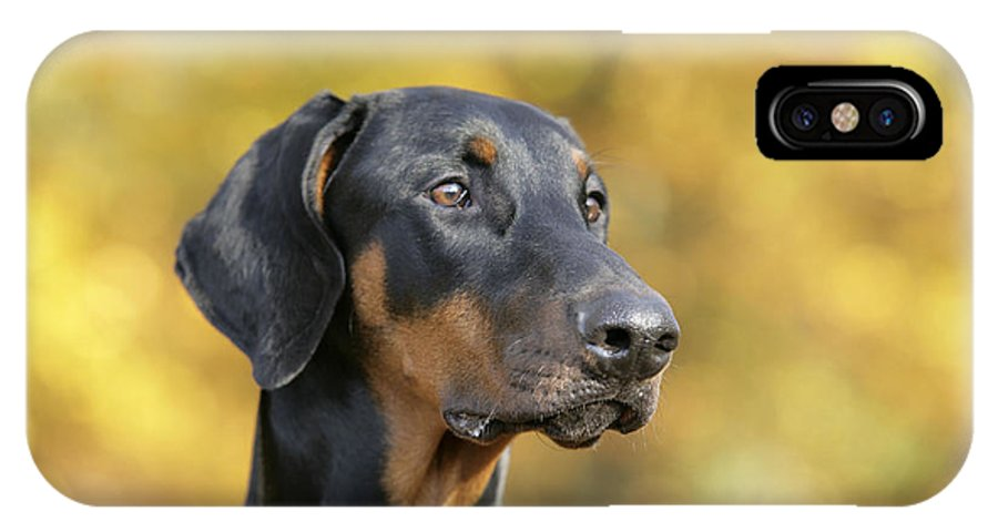 Doberman Pinscher IPhone X / XS Case featuring the photograph Dobermann Dog, In Autumn by John Daniels