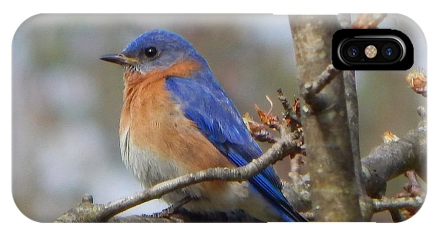 Eastern Bluebird IPhone X Case featuring the photograph Eastern Bluebird In A Pear Tree by Judy Genovese