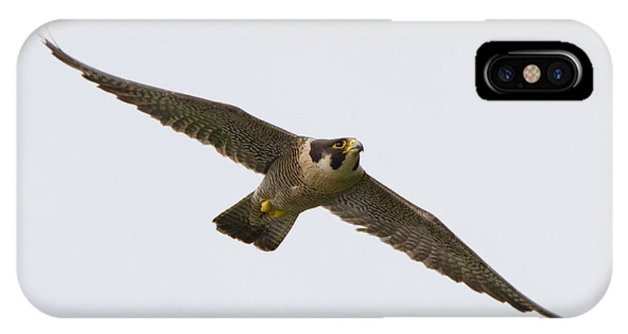 Falcon IPhone X Case featuring the photograph Falcon Glide by Judd Nathan