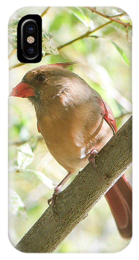 Cardinal IPhone X Case featuring the photograph Female Cardinal by Amy Porter