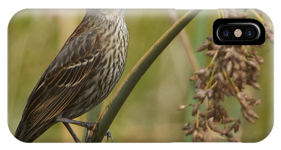 Red-winged IPhone X Case featuring the photograph Female Redwing Blackbird by Dee Carpenter