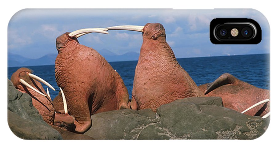 Bull IPhone X Case featuring the photograph Fighting Walrus by Alissa Crandall