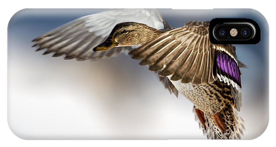 Duck IPhone X Case featuring the photograph Flight Of The Mallard by Bob Orsillo