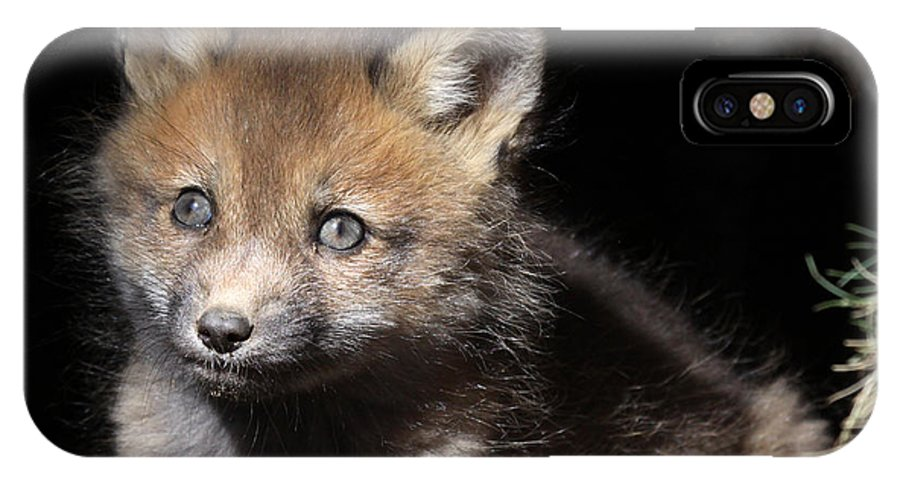 Maine Wildlife IPhone X / XS Case featuring the photograph Fox Kit In Den by Sharon Fiedler
