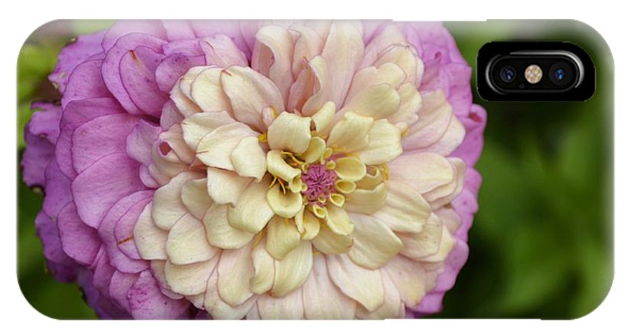 Zinnia IPhone X / XS Case featuring the photograph Zinnia In Full Bloom by Cassandra Moll