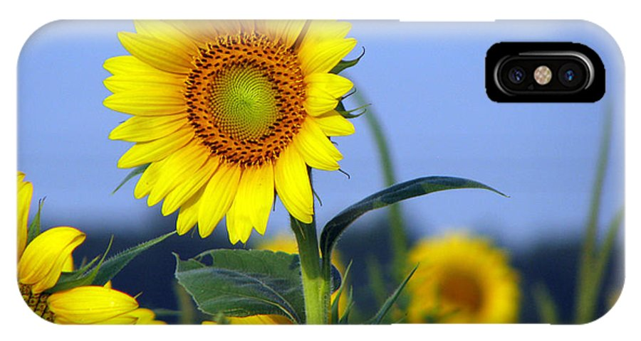 Sunflower IPhone X Case featuring the photograph Getting to the sun by Amanda Barcon