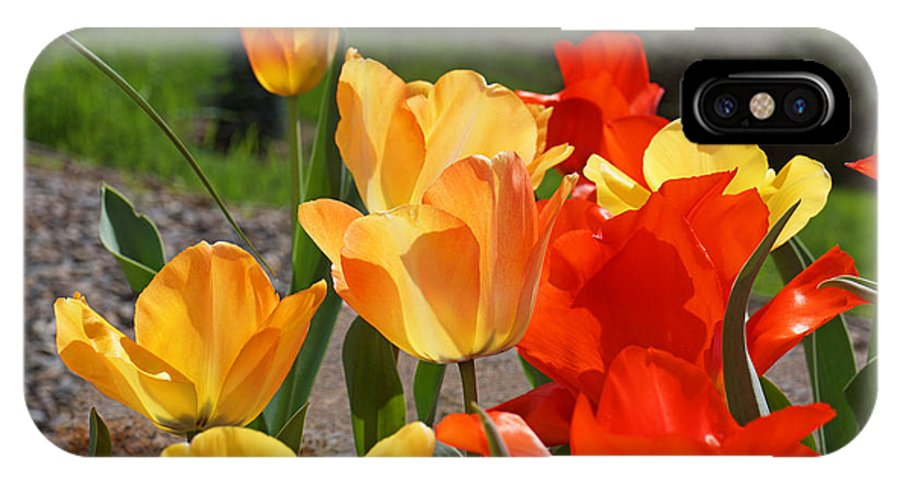 Red IPhone X Case featuring the photograph Glowing Sunlit Tulips Art Prints Red Yellow Orange by Baslee Troutman