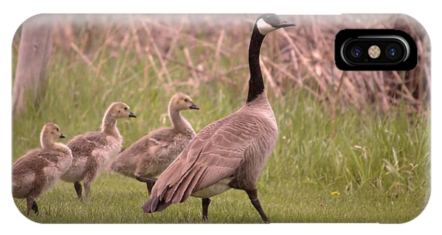 Geese IPhone X Case featuring the photograph Goslings On A Walk by Jeff Swan