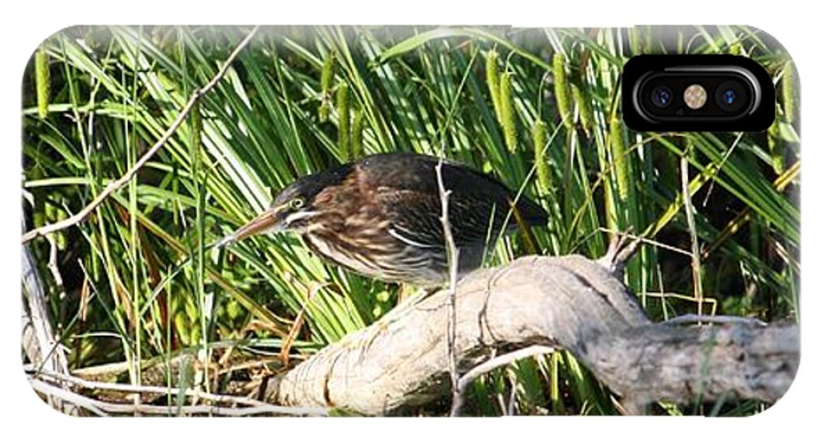 Green Heron Baby IPhone X Case featuring the photograph Green Heron - Juvenile by Sue Chisholm