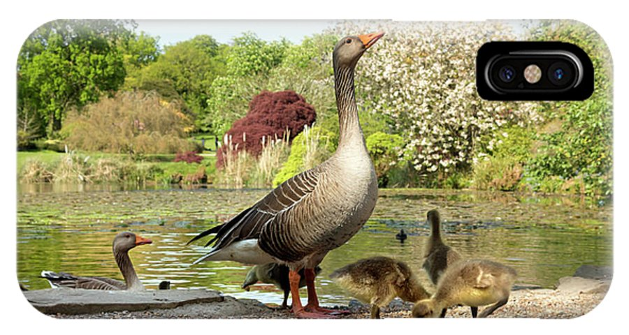 Anser IPhone X Case featuring the photograph Grey Geese And Goslings by Daniel Sambraus/science Photo Library