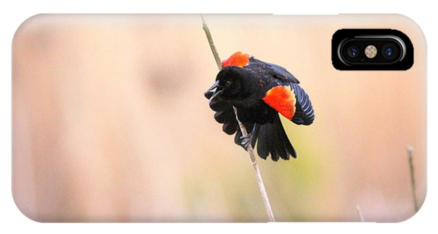 Red-winged Blackbird IPhone X Case featuring the photograph Here I Am Ladies - Red-winged Blackbird by Travis Truelove