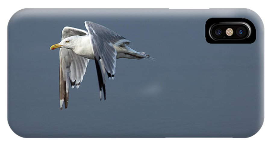 Flight IPhone X Case featuring the photograph Herring Gull In Flight by Karol Livote