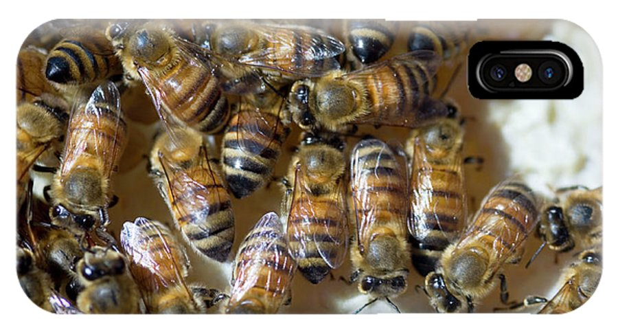Apis Mellifera IPhone X Case featuring the photograph Honeybees by Louise Murray/science Photo Library