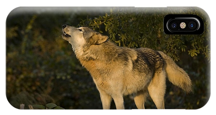 Wolf IPhone X Case featuring the photograph Howler by Jack Milchanowski