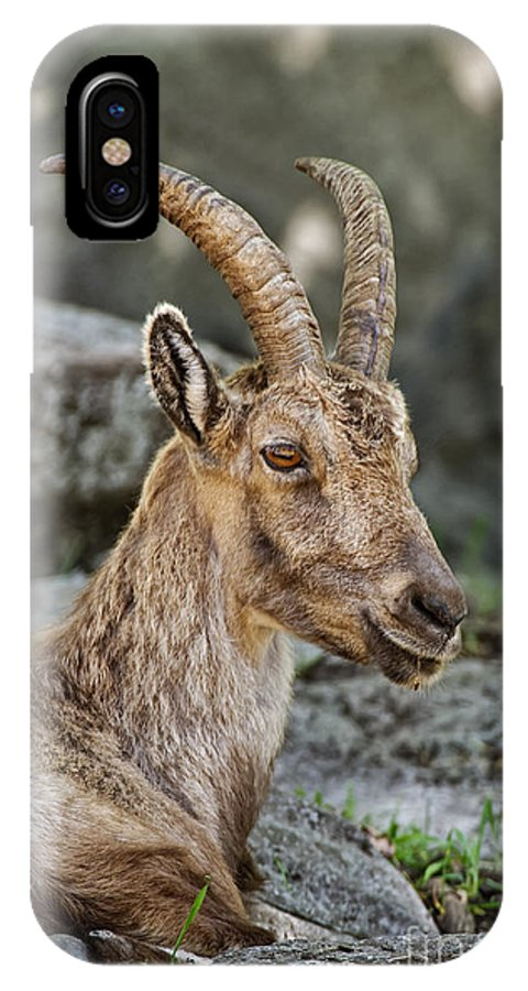 Ibex IPhone X Case featuring the photograph Ibex Pictures 38 by World Wildlife Photography