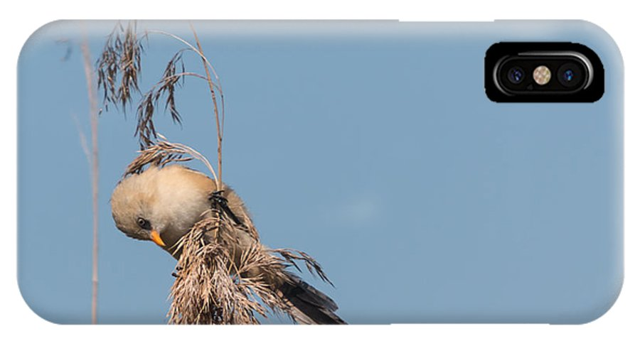 Bulgaria IPhone X Case featuring the photograph jn03 Bearded Reedling Juvenile by Jivko Nakev