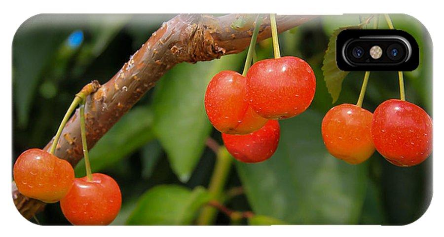 Kelowna Cherries Cherry Tree Vineyard IPhone X Case featuring the photograph Kelowna Cherries by Marie Cardona