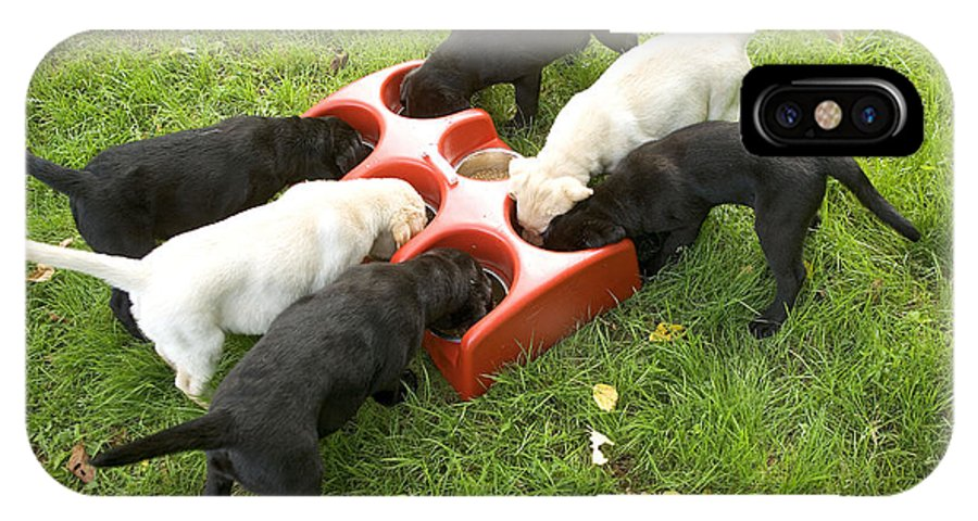 Labrador Retriever IPhone X / XS Case featuring the photograph Labrador Puppies Eating by Jean-Michel Labat