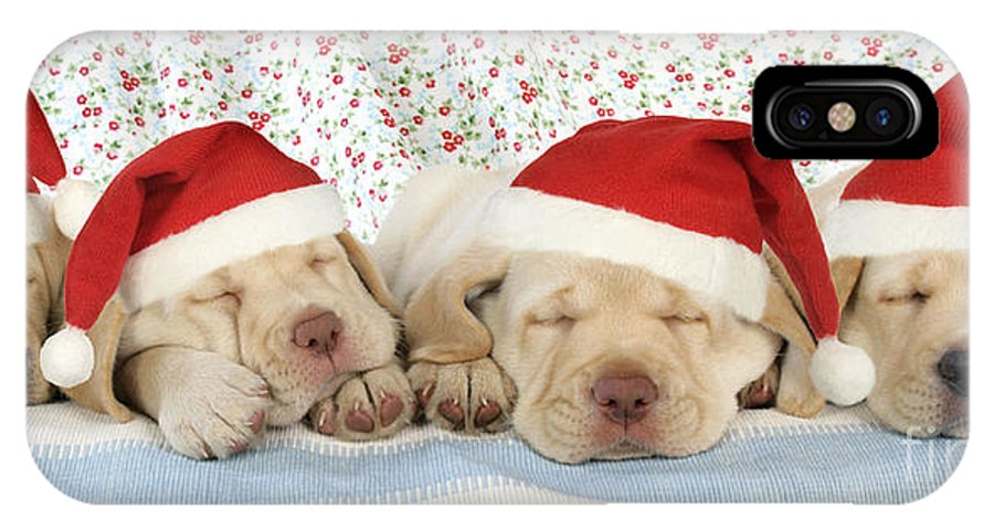 Dog IPhone X / XS Case featuring the photograph Labrador Puppy Dogs Wearing Christmas by John Daniels