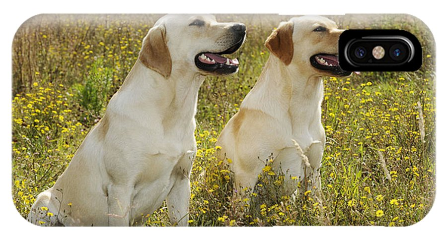 Labrador Retriever IPhone X / XS Case featuring the photograph Labrador Retriever Dogs by John Daniels