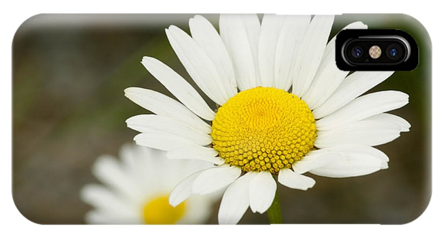 Daisy IPhone X / XS Case featuring the photograph Late Daisies by Jessica Lowell