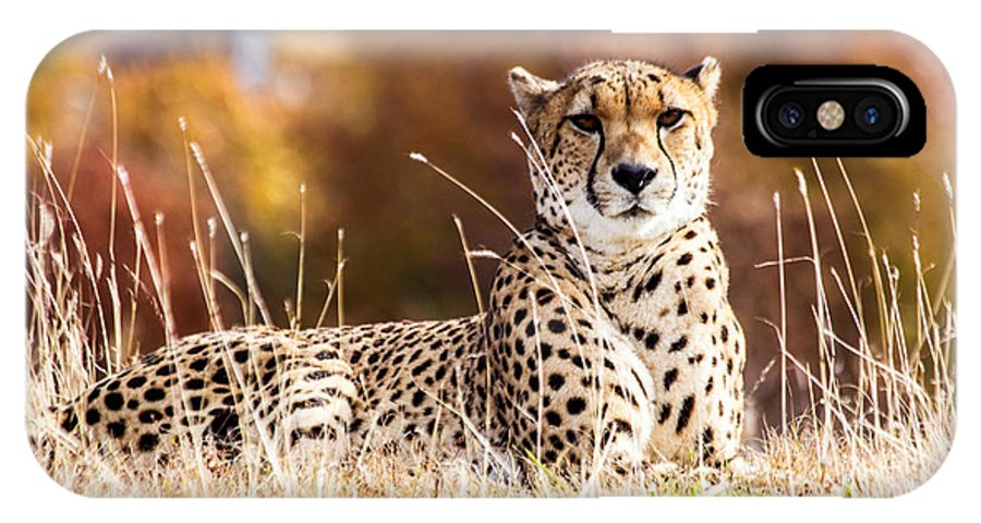 Kc Zoo Photograph IPhone X Case featuring the photograph Leopard Watching by Terri Morris