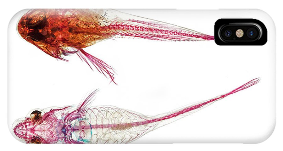 Actinopterygii IPhone X Case featuring the photograph Long-spined Sea Scorpion And Clingfish by Natural History Museum, London