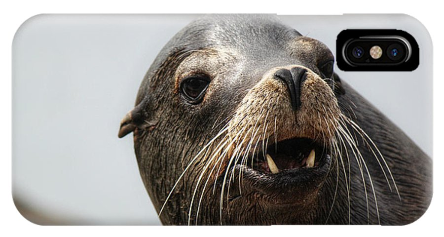 Seals. Seal IPhone X Case featuring the photograph Looking For The Ladies by Melanie Lankford Photography