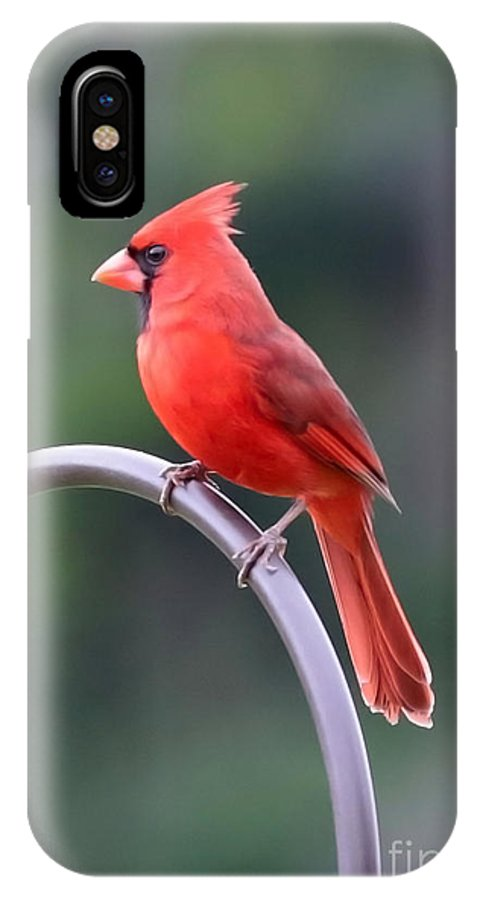 Cardinal IPhone X Case featuring the photograph Majestic Cardinal by Carol Groenen