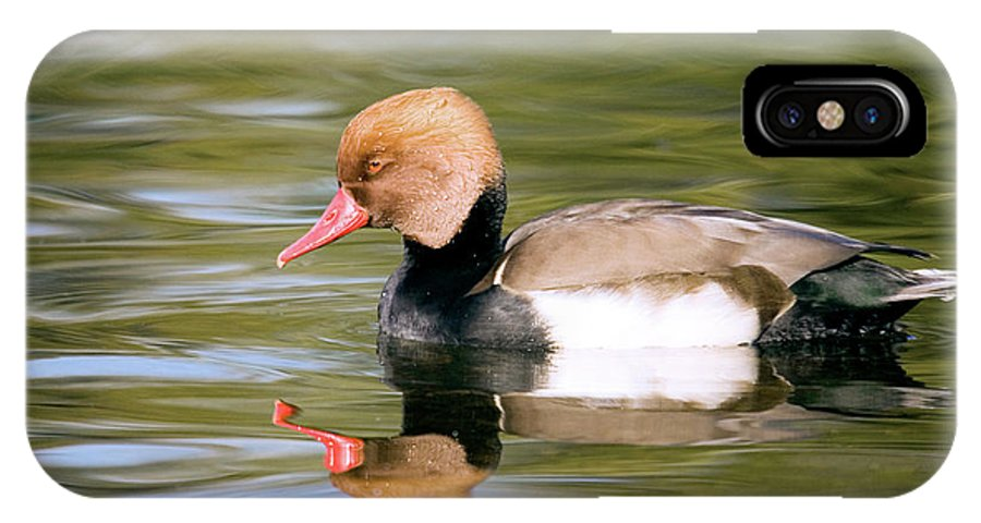 Netta Rufina IPhone X Case featuring the photograph Male Red-crested Pochard Duck by John Devries/science Photo Library