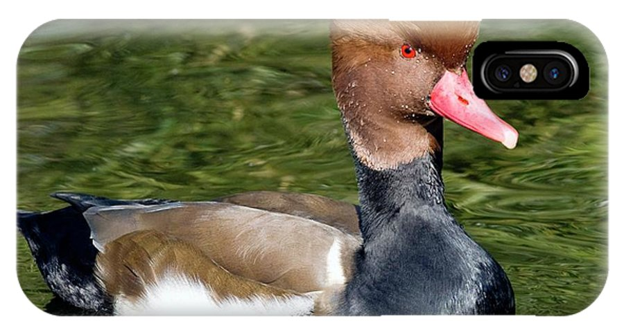 Red-crested Pochard IPhone X Case featuring the photograph Male Red-crested Pochard by Steve Allen/science Photo Library