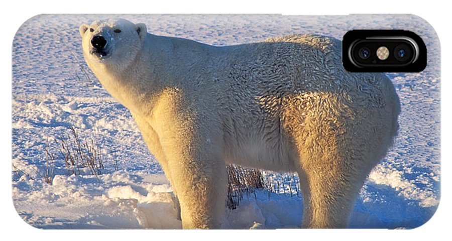 Arctic IPhone X / XS Case featuring the photograph Mature Polar Bear by Randy Green