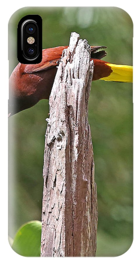 Nature IPhone X / XS Case featuring the photograph Montezuma Orependola by Mike Dickie