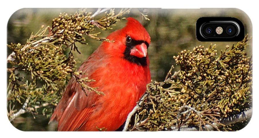 Cardinal IPhone X Case featuring the photograph More Than A Red Head by Greg Boutz