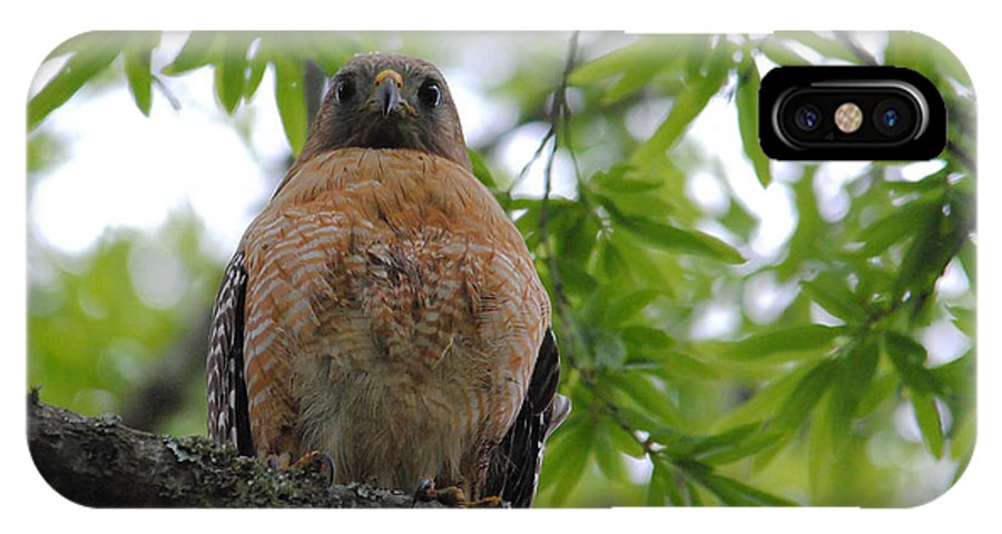 Red Shouldered Hawk IPhone X / XS Case featuring the photograph Mother Red Shouldered Hawk by Jai Johnson